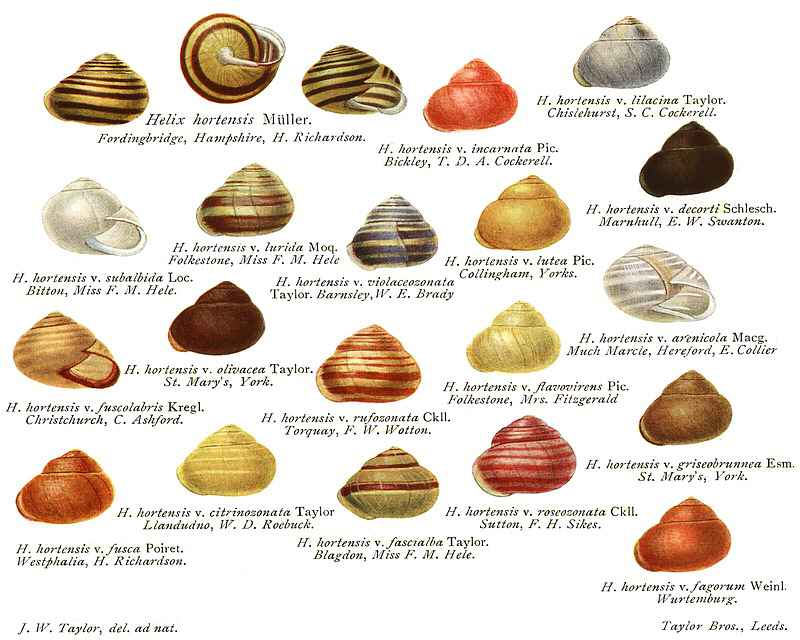 Variations of the Garden Banded Snail (Cepaea hortensis)